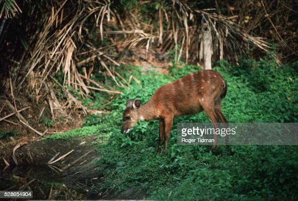 sitatunga deer - gambia stock pictures, royalty-free photos & images