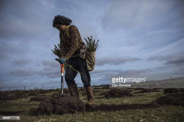 Sitka Spruce is planted at the North Doddington site on March 22 2018 in Doddington England The Doddington North Afforestation project has begun with...