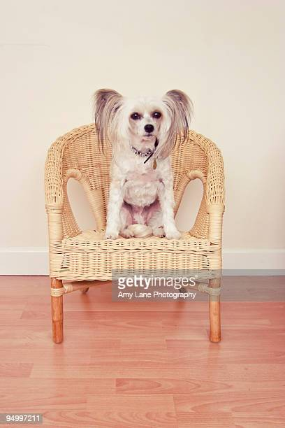 sittin pretty - chinese crested dog stock photos and pictures