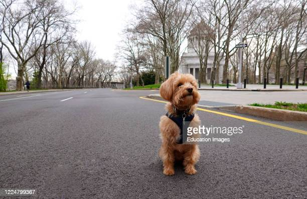 Sitting alone on the highway in Manhattan a Schnoodle dog during the Coronavirus lockdown period, Manhattan, New York, USA.