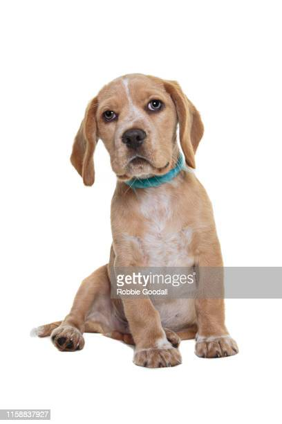a sitting beaglier puppy looking at the camera on a white backdrop. the beaglier is a cross between a beagle and cavalier charles spaniel. - 突き出た鼻 ストックフォトと画像