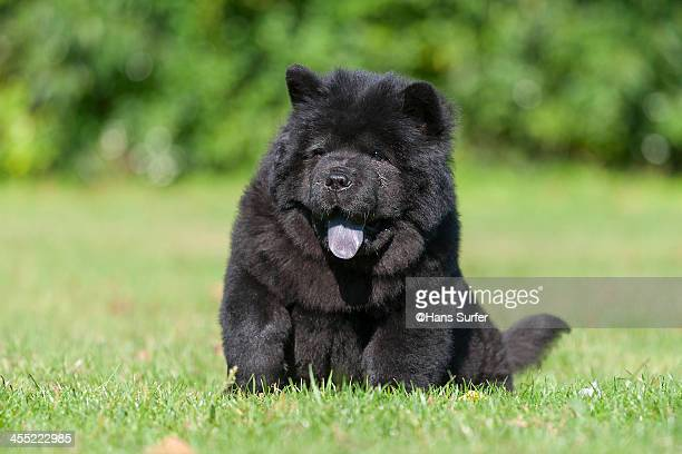 a sitting black chow chow puppy! - chow stock pictures, royalty-free photos & images