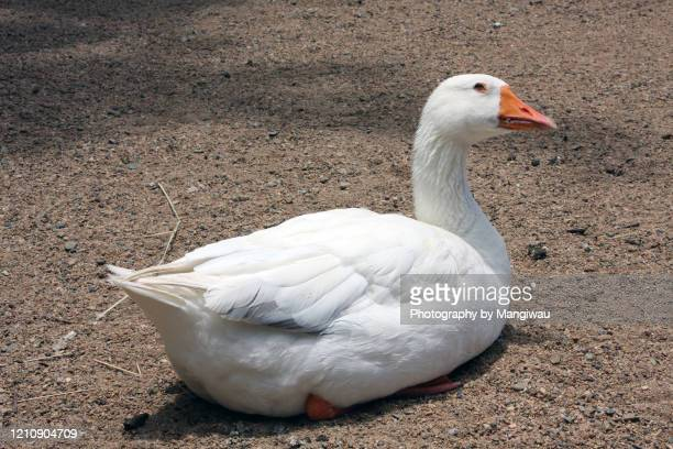 sitting duck - ducking stock pictures, royalty-free photos & images