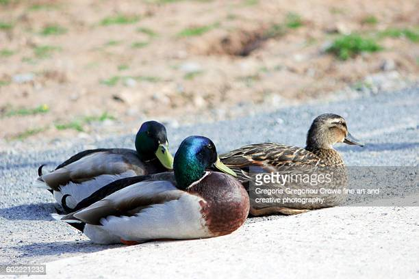 sitting ducks - gregoria gregoriou crowe fine art and creative photography. stock pictures, royalty-free photos & images