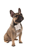 sitting french bulldog looking away isolated