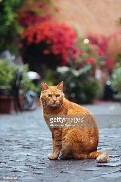 Sitting ginger cat in Trastevere, Rome, Italy