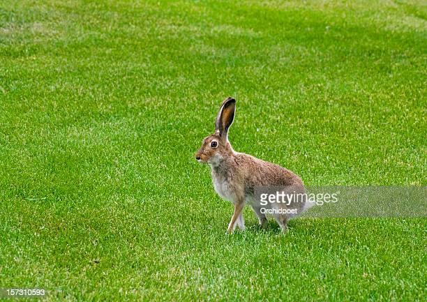 Sitting jackrabbit ready to hop