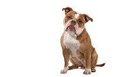 sitting old english bulldog looking at