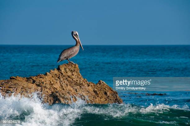 sitting on the top of the rock - brown pelican stock photos and pictures