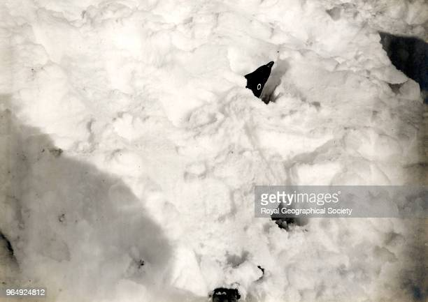 Sitting penguin snowed up only head and tail showing Antarctica 8th December 1911 British Antarctic Expedition 19101913