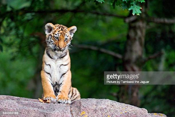 sitting tiger cub - siberian tiger stock pictures, royalty-free photos & images