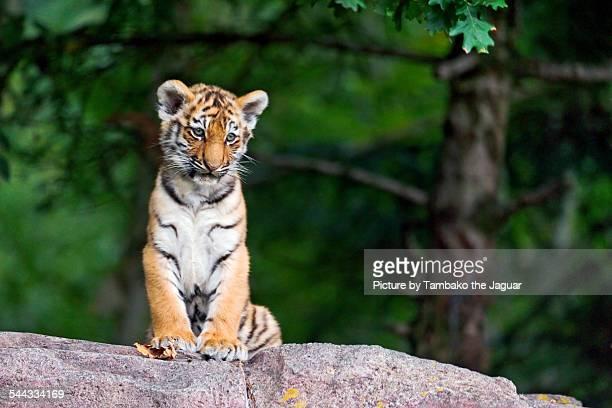 Sitting tiger cub