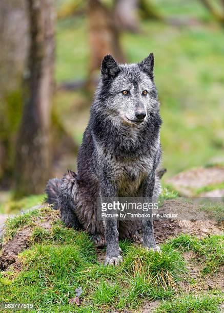 Sitting timberwold