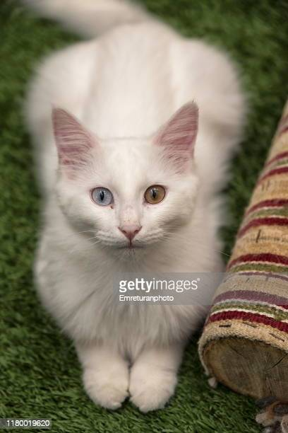 sitting van cat with different colored eyes. - emreturanphoto stock pictures, royalty-free photos & images