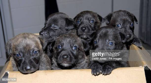Six abandoned pups three of which were found by postman Alan Oldfield while on his round in Balsall Common Warwickshire