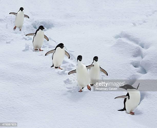 Six adelie penguins form a team, Antarctica