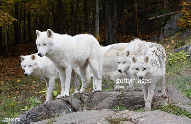 six arctic wolves - arctic wolf stock photos and pictures
