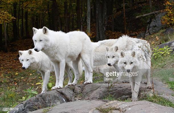 Six Arctic Wolves