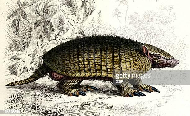 Six Banded Armadillo Engraving Of 1869 Captionned Dasypus Sexcinctus This Mammal Is Now Known As SixBanded Armadillo Its Curent Scientific Name Is...