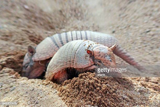 six banded armadillo - armadillo stock pictures, royalty-free photos & images