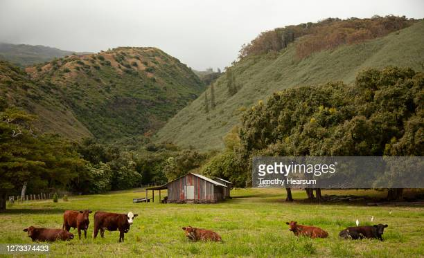 six cows rest in the grass with farm building, trees, mountains and cloudy sky beyond - timothy hearsum stock-fotos und bilder