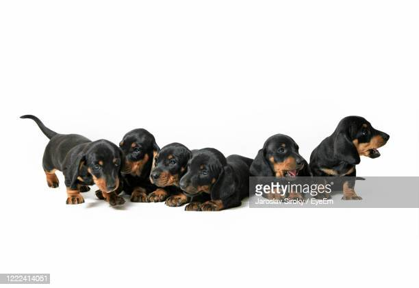 six dashund puppies - czech hunters stock pictures, royalty-free photos & images
