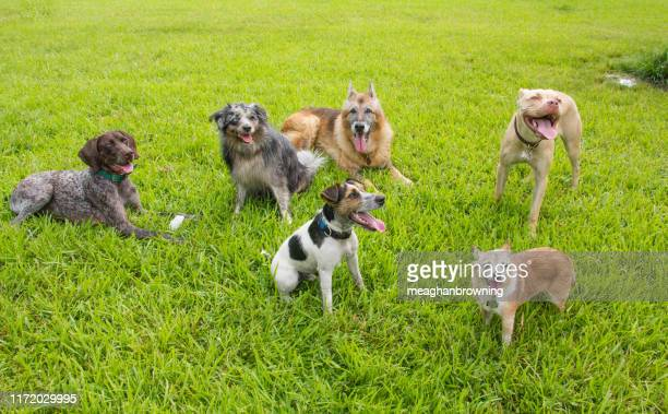 six dogs in a dog park, united states - off leash dog park stock pictures, royalty-free photos & images