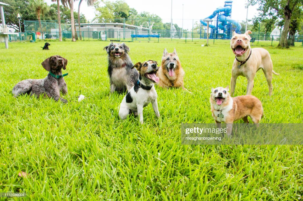 Six dogs in a dog park, United States : Stock Photo