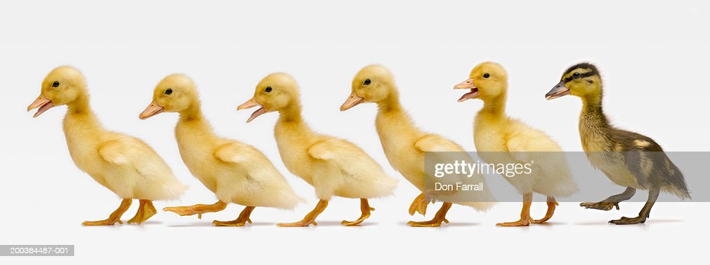 Six ducklings in row, side view (Digital Composite) : Stock Photo