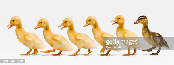 six ducklings in row, side view (digital composite) - duck bird stock photos and pictures
