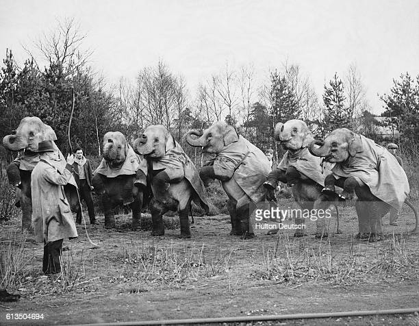 Six elephants appearing with the Bertram Mills Circus at Olympia are put through their paces in a Berkshire wood England 1935