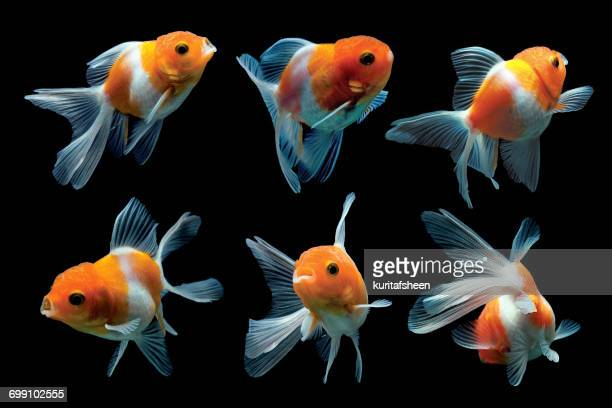 six goldfish - domestic animals stock photos and pictures