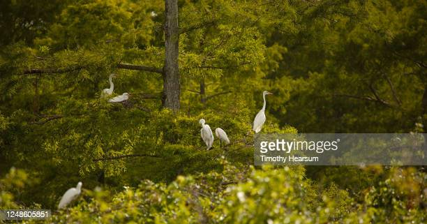 six great or common egrets (ardea alba) perch in a bald cypress tree - timothy hearsum stock pictures, royalty-free photos & images