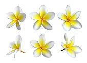 Six images of individual frangipani blooms