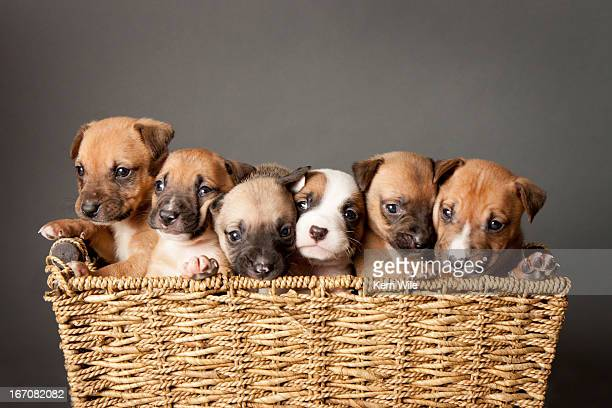 Six mixed breed puppies in a basket