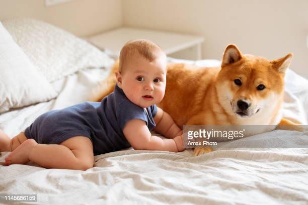 6ヶ月の赤ちゃんと柴犬は、一緒にベッドに横たわって、お互いを見て、子供は笑顔で自宅で幸せです