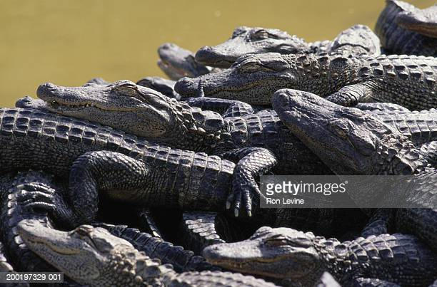 six month old alligators (alligator mississippiensis) - florida gators stock pictures, royalty-free photos & images