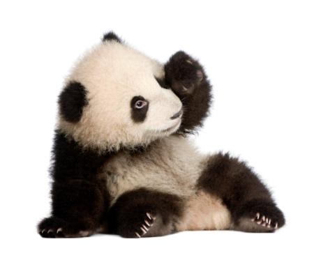 Six month old giant panda cub on a white background 93216420