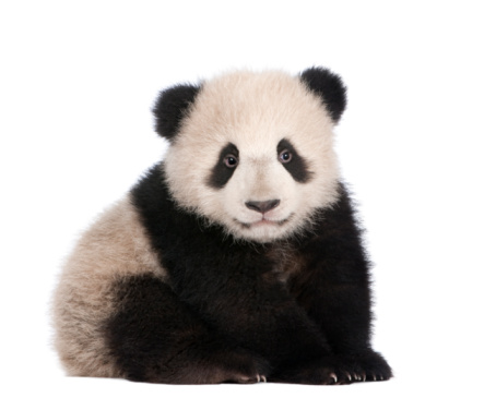 A six month old giant panda on a white background 93216608