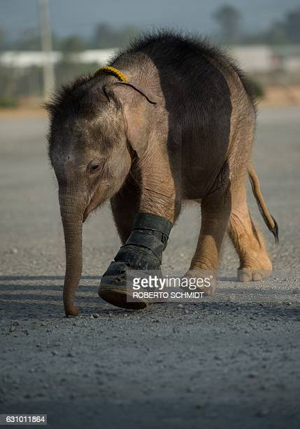 Six monthold baby elephant 'Clear Sky' walks with the help of a boot on her injured leg at the Nong Nooch Tropical Garden tourist park in Chonburi...