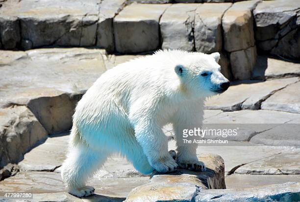 A six months old baby polar bear holds a caught rainbow trout with a front leg at Sapporo Maruyama Zoo on June 20 2015 in Sapporo Hokkaido Japan