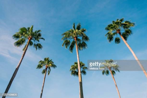 six palm trees - cocotier photos et images de collection