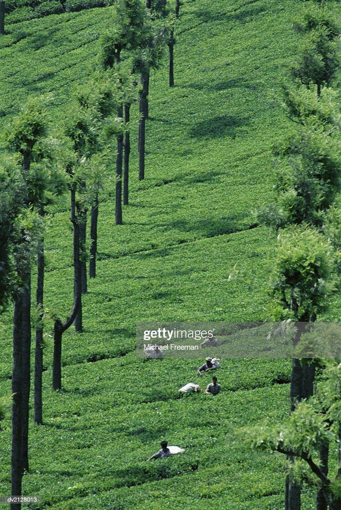 Six People Harvesting Tea : Stock Photo