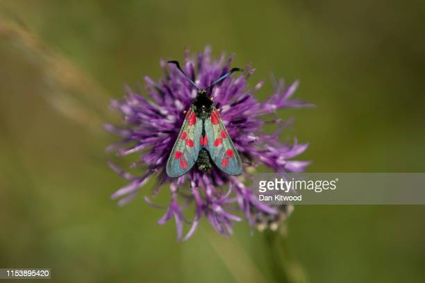 Six Spotted Burnet Moths fly in a conservation area of wild flowers on July 4 2019 in Dover England Studies over the last few years point to a...