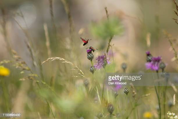Six Spotted Burnet Moths fly in a conservation area of wild flowers on July 5 2019 in Dover England Studies over the last few years point to a...