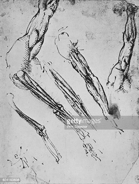 Six Studies of an Arm Showing in Three Cases the Bones' c1480 From The Drawings of Leonardo da Vinci [Reynal Hitchcock New York 1945] Artist Leonardo...