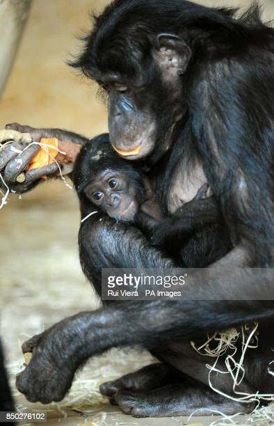 A six week old bonobo baby with its mother Banya at Twycross Zoo Leicestershire