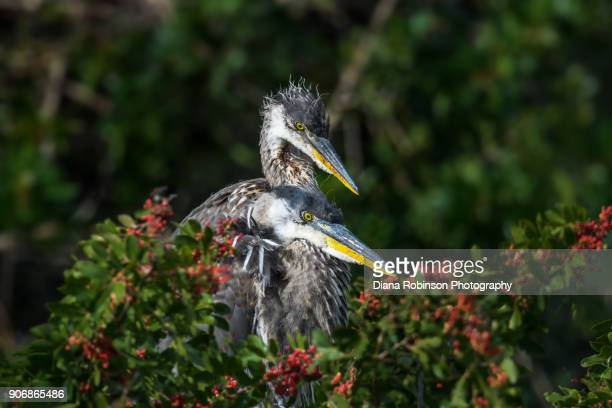 six week old great blue heron chicks, venice rookery, venice, florida - rookery stock pictures, royalty-free photos & images