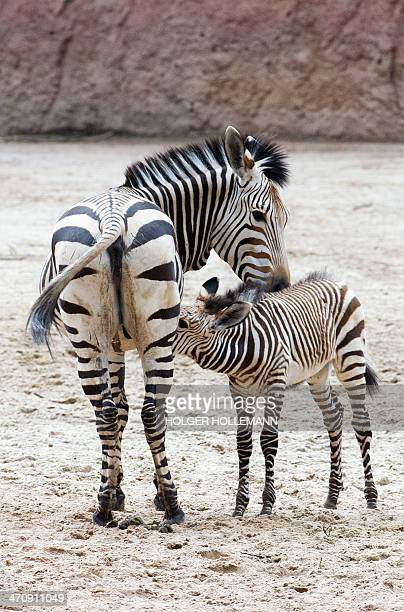 Six weeks old zebra Davu suckles his mother Nele in the zoo in Hanover central Germany on February 21 2014 AFP PHOTO / DPA/ HOLGER HOLLEMANN GERMANY...