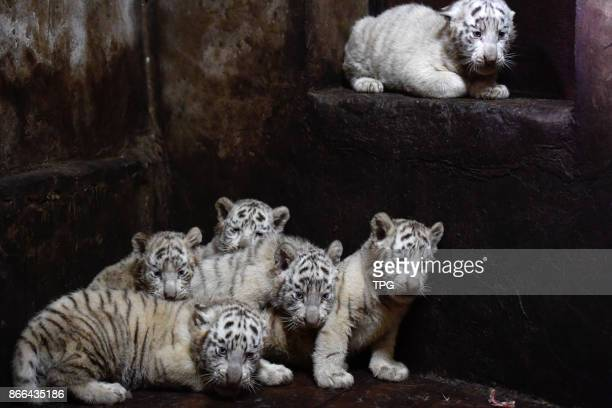 Six white tiger babies born at Yunan wildlife park on 25th October 2017 in Yunan China